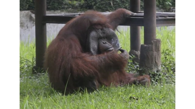 Smoking orangutan riles anger against zoo in Indonesia
