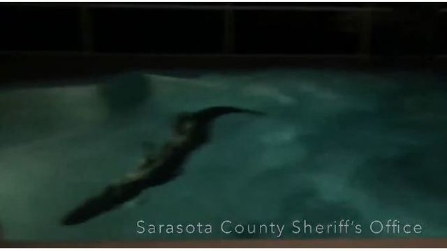Terrifying 11-foot-long alligator found in Florida family's pool