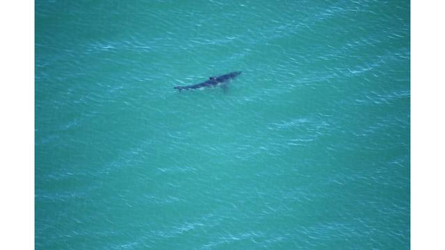 15 great whites spotted in waters of Aptos